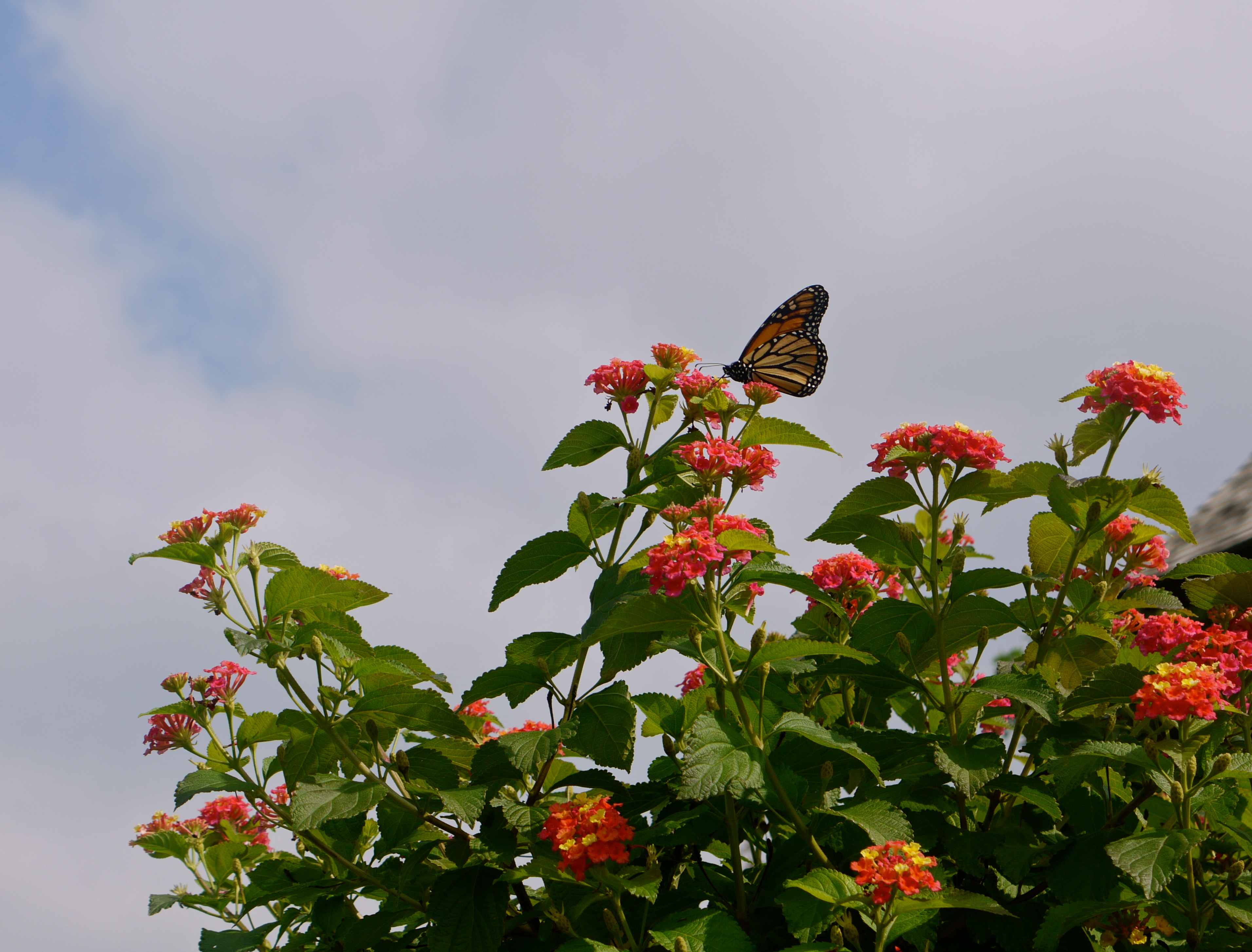 Pictures Of A Pinkie Lantana